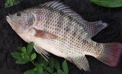 罗非鱼的功效与禁忌