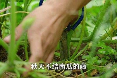 秋季腌老南瓜藤怎么做好吃?秋季腌老南瓜藤的家常做法