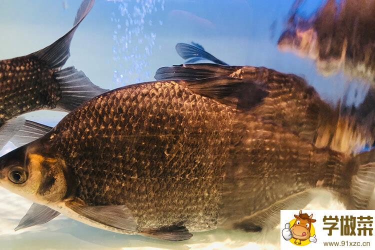 清蒸大武昌鱼一般蒸几分钟可以蒸熟