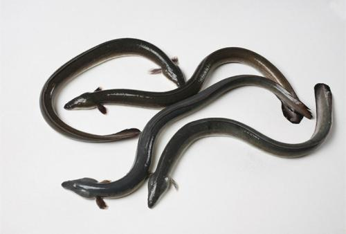 鳗鱼的营养与价值_鳗鱼作用与功效【图文】