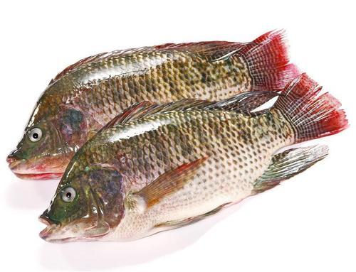 罗非鱼的营养价值_罗非鱼的作用与功效讲解【图文】