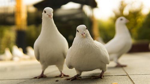 鸽子蛋怎么吃?鸽子蛋的营养价值